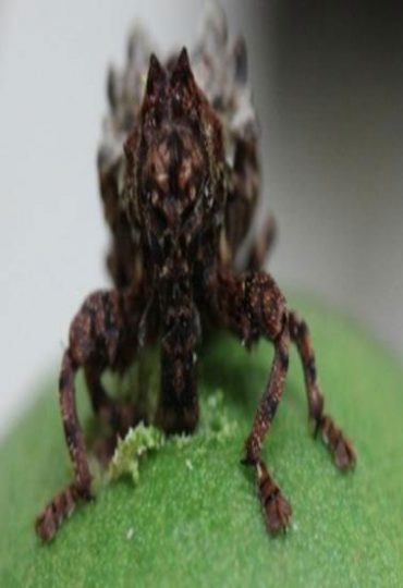 Sigastus Weevil feeding on macadamias. Photo courtesy Craig Maddox, NSW DPI