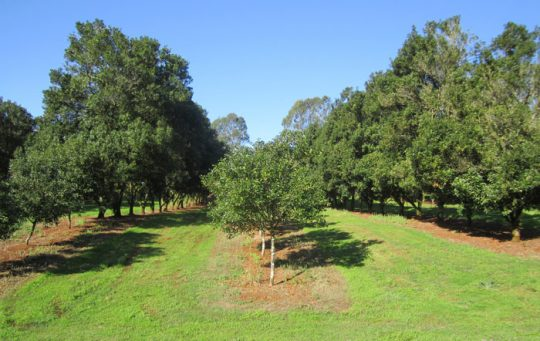 Two tree rows removed in 2006 and replaced by one row of var.246 trees to produce a 10.5 x 4m spacing