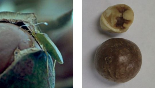 Fruit spotting bug feeding directly through the shell to create a blind sting (left) (courtesy I&I NSW). and the typical blind sting damage found in macadamias (right). Note the absence of damage on the shell (courtesy MPC).