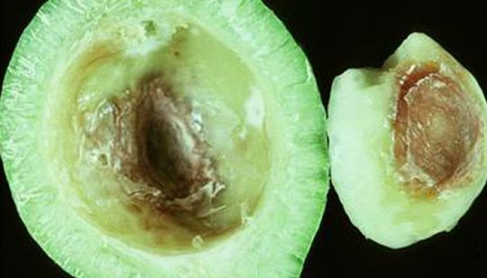 Sectioned nut showing lesions on the inside of the husk (nut removed)