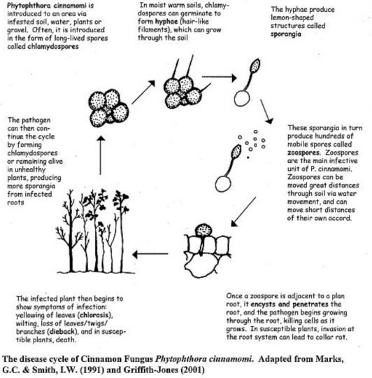 Figure 1. Lifecycle of Phyotphthora cinnamomi. (source Griffith-Jones, 2001)